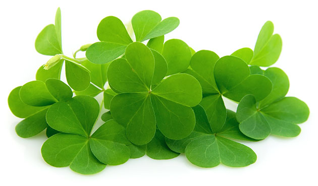 green organically grown clover isolated on white background