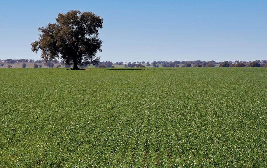 healthy Janz wheat field