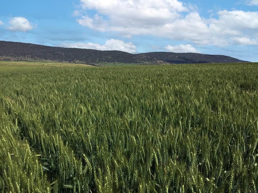 dual wheat crop in Tasmania Australia