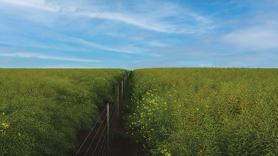 Lush field with dense, waist-high green plants under a bright blue sky